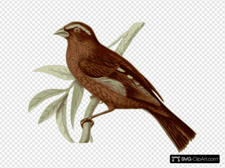Carpodacus Vinaceus Male