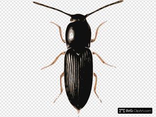 Insect Beetle Cardiophorus