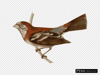 Carpodacus Trifasciatus