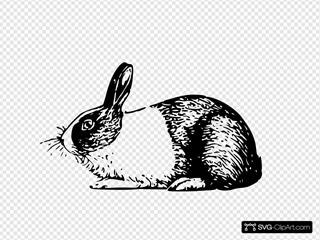 Holland Rabbit