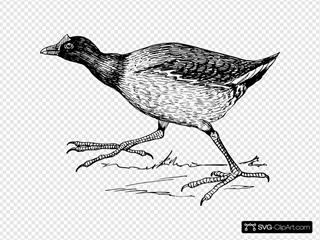 Gallinule Bird