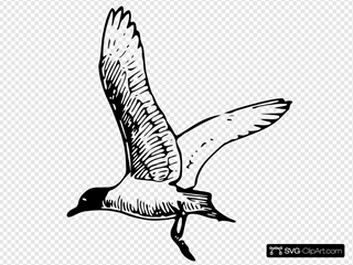 Franklins Gull Clipart