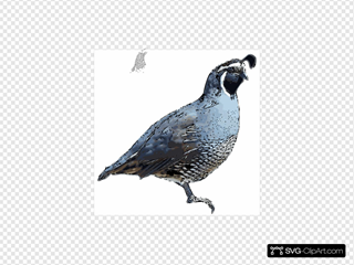 California Quail - Pen-and-ink