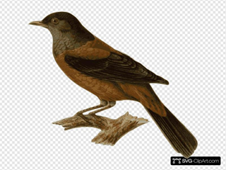 Turdus Rubrocanus Gouldi SVG Clipart