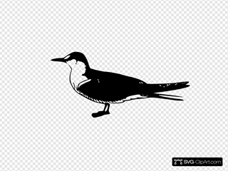 Scoty Tern