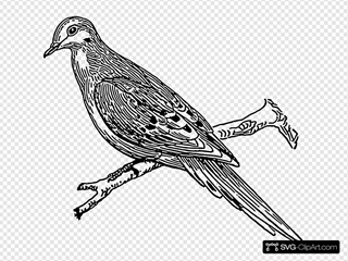 Perched Dove Drawing