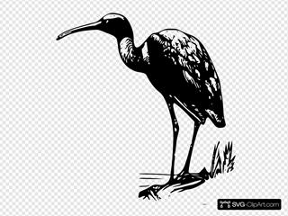 Glossy Ibis 3