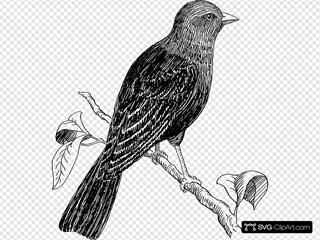 Perched Cowbird Drawing