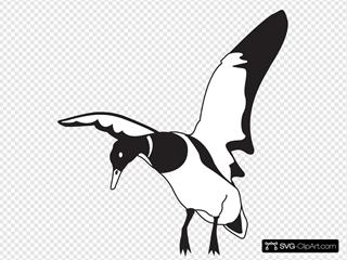 Landing Black And White Duck