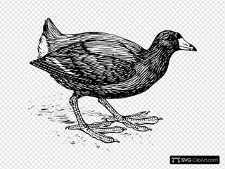 Coot Bird