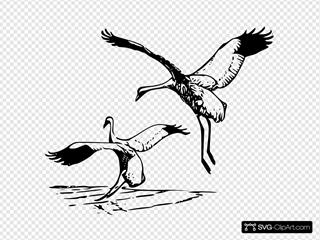 Whooping Cranes Landing