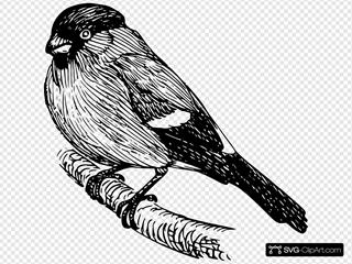 Bullfinch Drawing