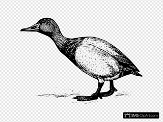 Canvasback Drawing