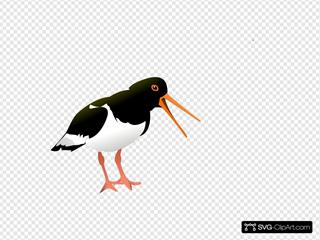 Oyster Catcher Bird