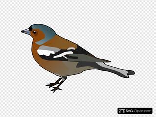 Male Chaffinch Bird