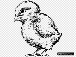 Baby Chick Drawing
