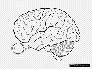 Human Brain Sketch With Eyes And Cerebrellum