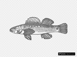 Darter Fish