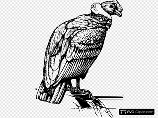 Condor Vulture