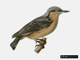 Sitta Europaea Sinensis