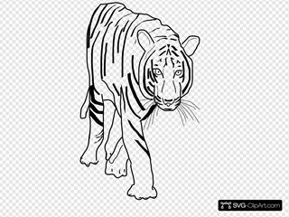 B W Tiger