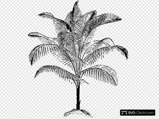 Miniature Coconut Palm