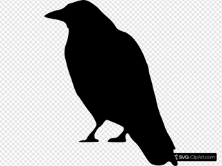 Crow Standing