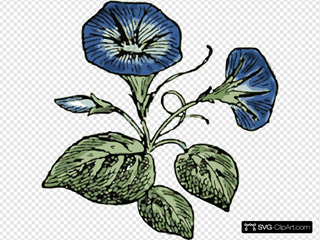 Morning Glory Illustration With Color