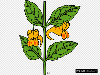 Impatiens Capensis