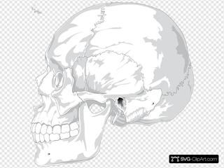Human Skull Side View