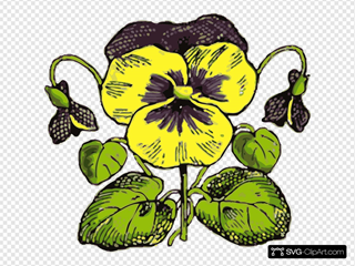 Pansy Illustration With Color