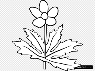 Canada Anemone Coloring Page