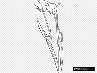 Mariposa Lily Drawing