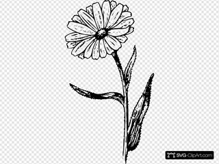 Calendula Drawing