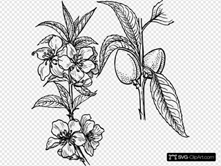 Almond Plant Drawing SVG Clipart