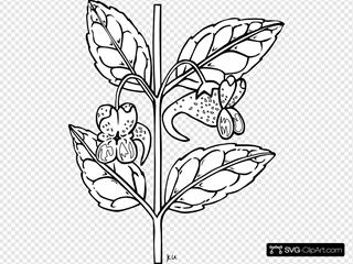 Impatiens Capensis Plant