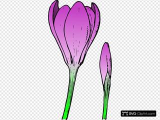 Purple Crocus Buds